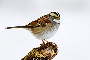 White throated Sparrow (Zonotrichia albicollis) male portrait, New York, USA.  -  Visuals Unlimited