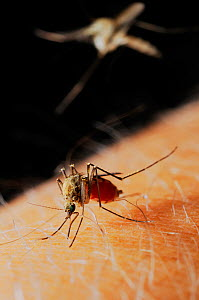 Mosquito (Culex pipiens) female feeding on human blood, while a second mosquito is arriving.  -  Visuals Unlimited
