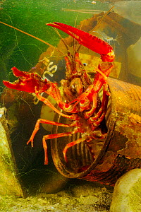 Louisiana Swamp Crayfish (Procambarus clarkii) hiding in a rusty can. These crustaceans can survive in highly polluted waters, an invasive introduced species, Europe  -  Visuals Unlimited