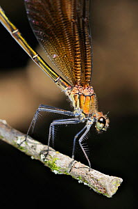 Mediterranean / Copper Demoiselle Damselfly (Calopteryx haemorrhoidalis) female portrait, Europe - Visuals Unlimited
