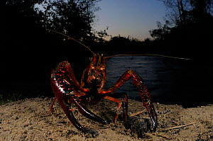 Louisiana Swamp Crayfish (Procambarus clarkii) emerging from water. They can travel long distances to seek suitable habitats, an invasive, introduced species to Europe.  -  Visuals Unlimited
