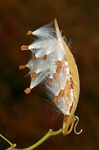 Milkweed / Butterfly Weed (Asclepias tuberosa) seed pod, Florida, USA - Visuals Unlimited