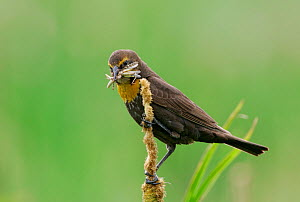 Yellow headed Blackbird (Xanthocephalus xanthocephalus) female with food for her young, Western North America.  -  Visuals Unlimited