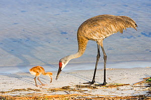 Sandhill Crane (Grus canadensis) chick with adult feeding on mole cricket, Indian Lake Estates, Florida, USA  -  Visuals Unlimited