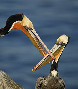 Brown Pelicans (Pelecanus occidentalis) fighting with duelling bills, California, USA.  -  Visuals Unlimited
