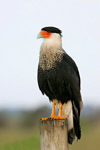 Northern Crested Caracara (Caracara cheriway) North America.  -  Visuals Unlimited