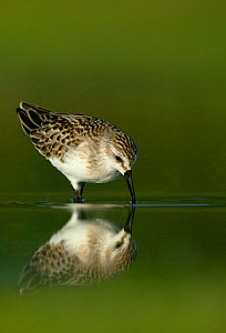 Semipalmated Sandpiper (Calidris pusilla) juvenile probing for food, Jamaica Bay National Wildlife Refuge, Queens, New York, USA - Visuals Unlimited