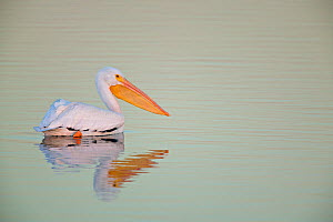 American White Pelican (Pelecanus erythrorhynchos) on water in fog, USA - Visuals Unlimited