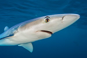 Blue shark (Prionace glauca) near the surface of the English Channel, showing the large eye. Penzance, Cornwall, England, British Isles. North East Atlantic Ocean, August.  -  Alex Mustard