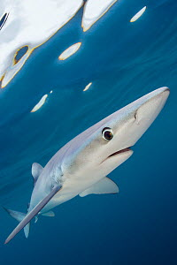 Blue shark (Prionace glauca) swimming near the surface of the English Channel. Penzance, Cornwall, England, British Isles. North East Atlantic Ocean, August. Highly commended in the Portraits category... - Alex Mustard,Alex  Mustard
