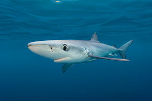Blue shark (Prionace glauca) cruises beneath the surface of the English Channel. Penzance, Cornwall, England, British Isles. North East Atlantic Ocean, August.  -  Alex Mustard