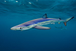 Blue sharks (Prionace glauca) cruise beneath the surface of the English Channel. Penzance, Cornwall, England, British Isles. North East Atlantic Ocean, August. Winner of the Coast and Marine category... - Alex  Mustard