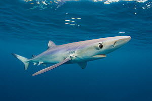Blue shark (Prionace glauca) near the surface of the English Channel. Penzance, Cornwall, England, British Isles. North East Atlantic Ocean, August.  -  Alex Mustard