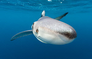 A close up of a blue shark (Prionace glauca) as it investigates the camera beneath the surface of the English Channel.  Penzance, Cornwall, England, British Isles. North East Atlantic Ocean, August.  -  Alex Mustard