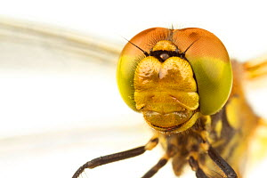 Close-up of the head and compound eyes of a female Common darter (Sympetrum striolatum), Leicestershire, England, UK, July. meetyourneighbours.net project - MYN / Matt Cole