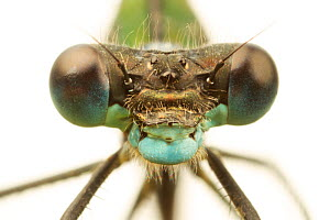 Close-up of the head of a female Emerald damselfly (Lestes sponsa), showing compound eyes, Leicestershire, England, UK, July. meetyourneighbours.net project - MYN / Matt Cole
