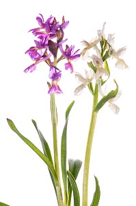 Roman Orchid (Dactylorhiza romana) in two colour forms, near Canepina, Viterbo, Italy, April. Meetyourneighbours.net project  -  MYN / Paul Harcourt Davies