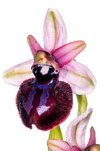 Siponto Ophrys (Ophrys sipontensis /  O. sphegodes ssp. sipontensis) in flower, a rare orchid endemic species restricted to a limited area near Manfredonia and Monte St Angelo. Italy, April. Meetyourn...  -  MYN / Paul Harcourt Davies