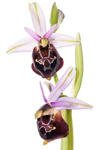 Spectacle Ophrys (Ophrys argolica ssp biscutella syn. O. biscutella) a taxon endemic to Gargano, Puglia, Italy, near Monte St Angelo, Italy, April. Meetyourneighbours.net project  -  MYN / Paul Harcourt Davies