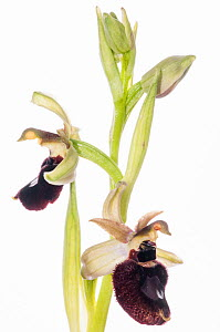 Orchid (Ophrys bertoloniiformis / O. bertoloni ssp bertoloniiformis) in flower, a taxon endemic to Gargano and also Abruzzo in Italy. Taken near Ruggiano, Gargano, Italy, April. Meetyourneighbours.net...  -  MYN / Paul Harcourt Davies