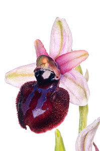 Siponto Ophrys (Ophrys sipontensis syn. O. sphegodes ssp. sipontensis) rare endemic species restricted to a limited area near Manfredonia and Monte St Angelo. Italy, April. Meetyourneighbours.net proj...  -  MYN / Paul Harcourt Davies