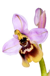 Late Ophrys (Ophrys tardans) an endemic species restricted to S. Puglia. Thought to have arisen from hybrisation between O. Candica and O. tenthredinifera. Taken near San Cataldo, Lecce, Puglia Italy,...  -  MYN / Paul Harcourt Davies