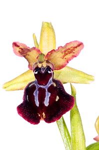Orchid (Ophrys passionis /sphegodes ssp garganica) near Monte St Angelo, Gargano. Italy, April. Meetyourneighbours.net project  -  MYN / Paul Harcourt Davies