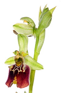 Orchid (O. X cosentiana nociana) hybrid between Ophrys fuciflora ssp. parvimaculata and Ophrys apulica, growing in moist-woodland above Lago di Varano, Gargano, Puglia, Italy, April. Meetyourneighbour...  -  MYN / Paul Harcourt Davies