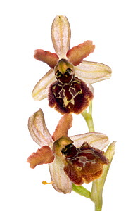 Orchid (Ophrys argentaria / araneola ssp argentario) an endemic species in W. Italy, flowering on roadside on Mountt Argentaria, Italy, April. Meetyourneighbours.net project  -  MYN / Paul Harcourt Davies