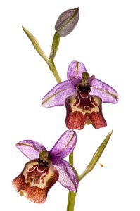 Callantha's Orchid (Ophrys oxyrrynchos ssp calliantha) a subspecies thought to have arisen from crosses between O. oxyrrynchos and O.candica, near Ferla, Sicily, May. Meetyourneighbours.net project  -  MYN / Paul Harcourt Davies