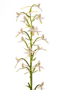 Lesser butterfly orchid (Platanthera bifolia) in flower, Villa Lago, Terni, Umbria, Italy, June. Meetyourneighbours.net project - MYN / Paul Harcourt Davies