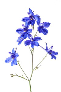 Forking Larkspur (Consolida regalis) in flower, near Orvieto, Umbria, Italy. June. Meetyourneighbours.net project  -  MYN / Paul Harcourt Davies