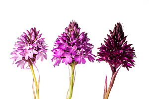 Pyramidal Orchid (Anacamptis pyramidalis) colour varieties. Sibillini, Umbria Italy, June. Meetyourneighbours.net project  -  MYN / Paul Harcourt Davies