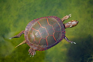 Painted Turtle (Chrysemys picta) overhead view of swimming pond, North America. - Visuals Unlimited