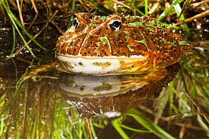 Argentine Horned Frog (Ceratophrys ornata) half submerged in water, South America  -  Visuals Unlimited