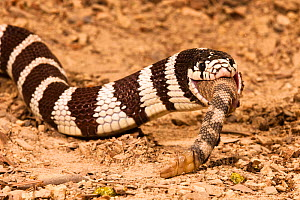 California Kingsnake (Lampropeltis getula californiae) eating a Rattlesnake (Crotalus), California, USA.  -  Visuals Unlimited