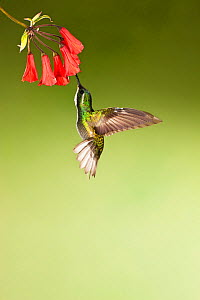 White throated Mountain gem Hummingbird(Lampornis castaneoventris) feeding from red tubular flower, Costa Rica  -  Visuals Unlimited