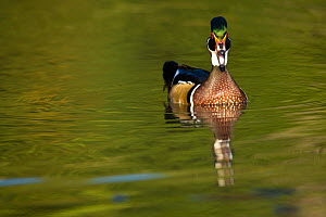 Wood Duck (Aix sponsa) male on water, Eastern USA - Visuals Unlimited