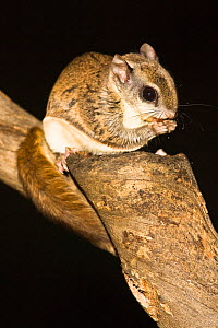 Northern Flying Squirrel (Glaucomys sabrinus) feeding on nuts, North America  -  Visuals Unlimited