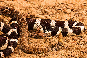 California Kingsnake (Lampropeltis getula californiae) eating a Rattlesnake (Crotalus), California, USA  -  Visuals Unlimited
