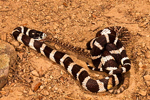California Kingsnake (Lampropeltis getula californiae) eating a Rattlesnake (Crotalus) after constricting it to death, California, USA  -  Visuals Unlimited