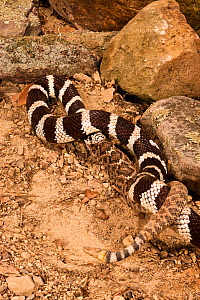 California Kingsnake (Lampropeltis getula californiae) eating a Rattlesnake (Crotalus) after constricting it, California, USA  -  Visuals Unlimited