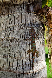Tokay Geckos (Gecko gecko) on tree trunk. Dumaguete, Philippines. One of the world's largest gecko species. - Visuals Unlimited