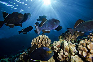 Black Durgon / Triggerfish (Melichthys niger) are often found in large schools over reef areas, Hawaii, USA. - Visuals Unlimited