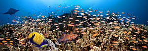 Schooling Anthias (Anthias) a Manta Ray, Grouper and an Angelfish dominate this Philippine reef scene, Indo-Pacific - Visuals Unlimited