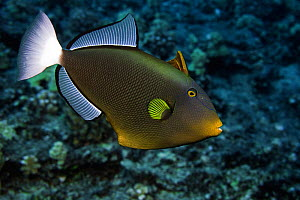 Pinktail Durgon / Pinktail Triggerfish (Melichthys vidua) Hawaii, USA. - Visuals  Unlimited