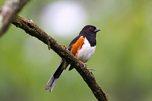 Rufous sided / Eastern Towhee (Pipilo erythrophthalmus), Virginia, USA  -  Visuals Unlimited
