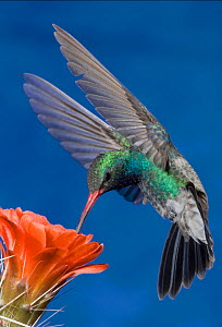 Broad Billed Hummingbird (Cyanthus latirostris) male feeding at a Claret Cup Cactus flower, Madera Canyon, Arizona, USA  -  Visuals Unlimited