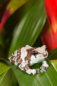 Amazon Milk Frog (Trachycephalus resinifictrix), native to South America. Captive.  -  Visuals Unlimited