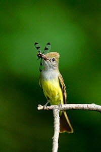 Great Crested Flycatcher (Myiarchus crinitus) with dragonfly prey in its beak, Pennsylvania, USA.  -  Visuals Unlimited
